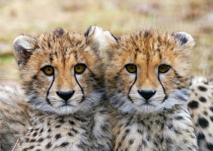"All cheetahs in the world have nearly the same DNA. This is usually impossible in mammals. Scientists, however, have found an 'explanation' for this and believe that ""at one point there was probably only a very small population, which then expanded to the current situation"". This theory is highly unlikely for animals like the cheetah which live solitarily, and has never been seen in the entire animal kingdom. The truth is that this animal was created and cloned by the Atlanteans through genetic manipulation and served as a pet and hunter"